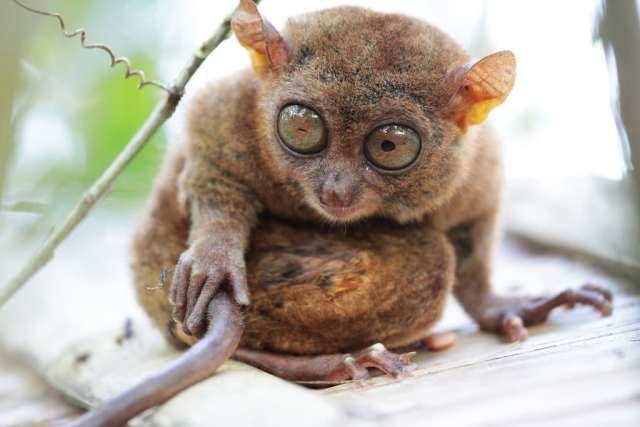 tarsier animal