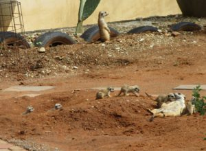 Magical Meerkat memories made at Marrick Safari in Kimberley