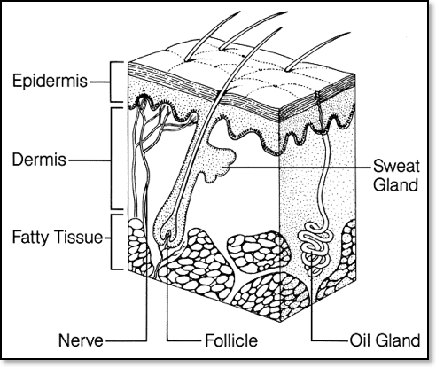 skin cell tissue Colouring Pages