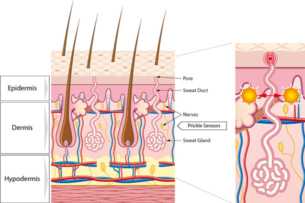 skin cross section diagram spal fan relay wiring how marvel works showing microcirculation and perspiratory system