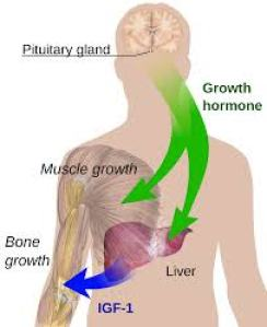 pituitary and GH production