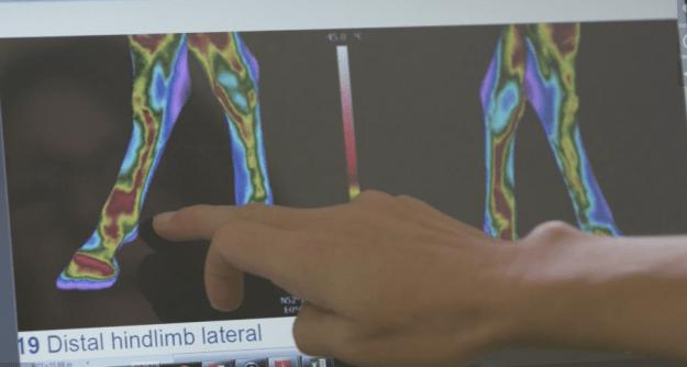 Skins - Equine - Analysis of Thermograms
