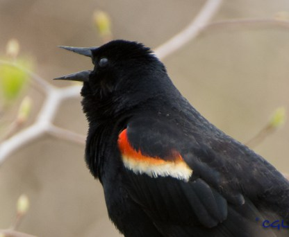 Redwinged blackbird sounding off