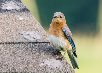 Another bluebird (I can't resist them)