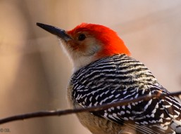 This red-bellied woodpecker is arguably my favorite bird.