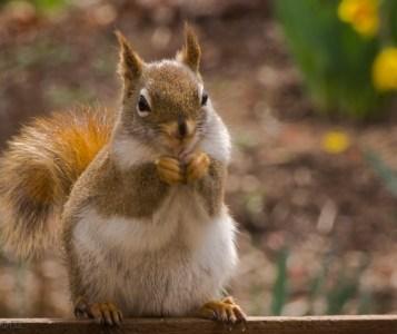Red squirrel enjoying a feast