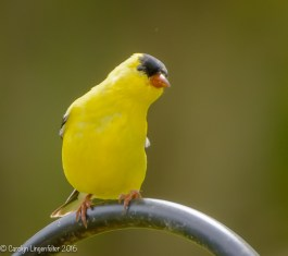 Goldfinch looking coy