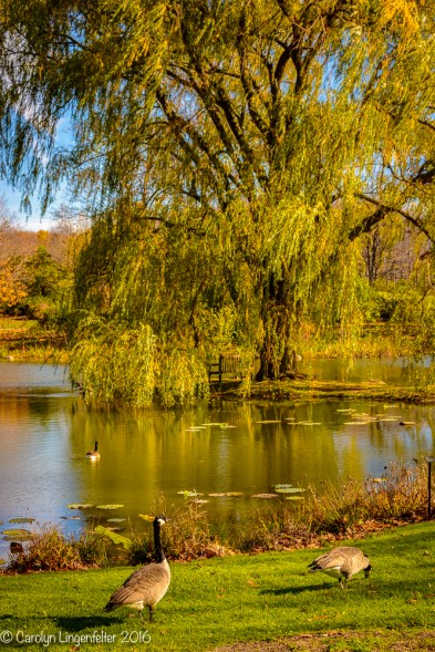 Another shot of the golden willow tree