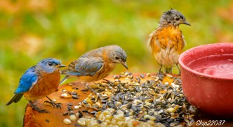 Rain-soaked bluebirds (Love the face of the little girl on the right)