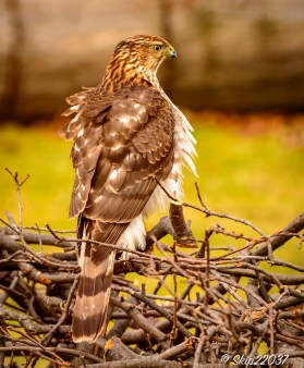 This hawk is visiting more than I would like!