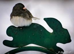 "A junco (snowbird) resting on the ""rabbit"""