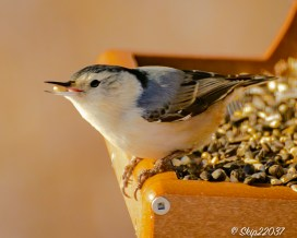 Whitebreasted nuthatch