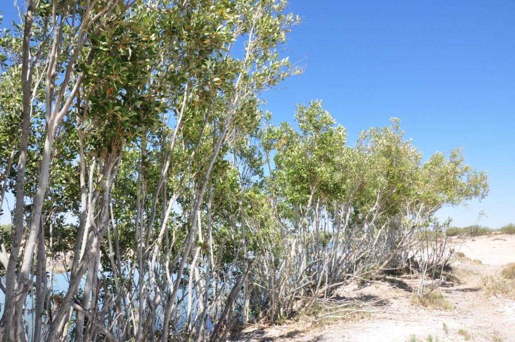 Avicennia marina Grey Mangrove  Society for Kimberley Indigenous Plants and Animal S