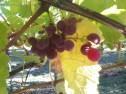 Grapes in Snohomish Washington