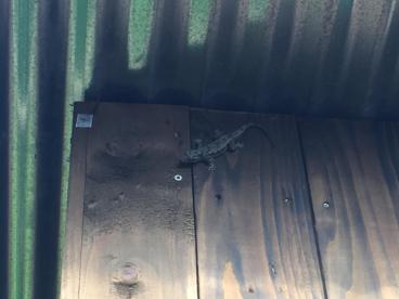 Gekko, these were intraduced for pest control.