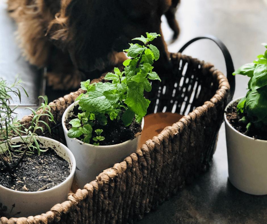 Money-saving kitchen herb garden
