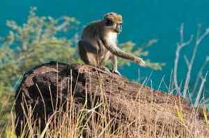 St Kitts Road Side Monkey Tour