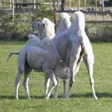 Kamele-Oeland-1
