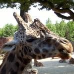 1111-Giraffenlachen