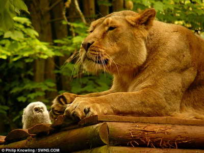 совенок и львица