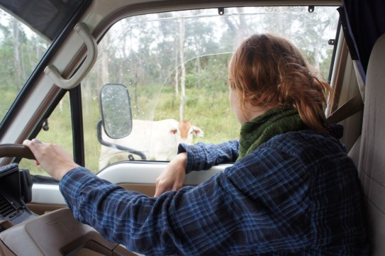cruisin with cattle