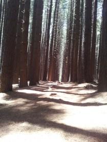 Sax's indecision, Sugar Pines
