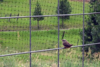 wren at fence