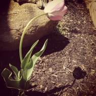 lonely tulip