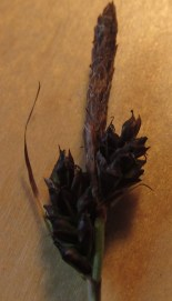 Carex caryophyllea Image N Hodgetts