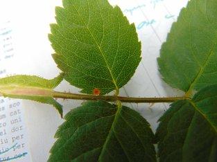 On Rosa caesia subsp. vosagiaca