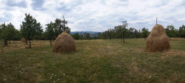 Plum Trees on Farm