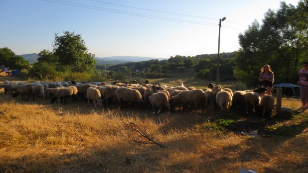 Sheep at Festival