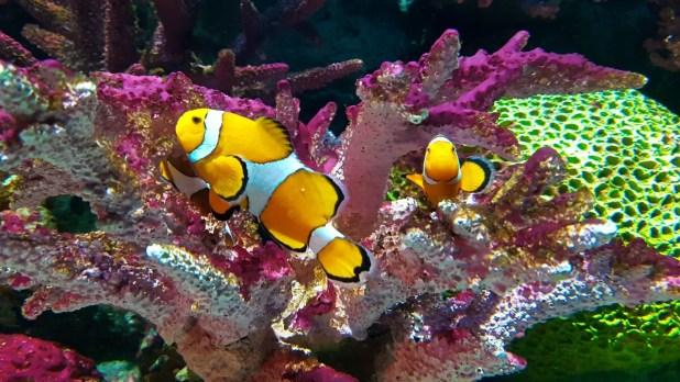 Nemo at Sea Life Ocean World