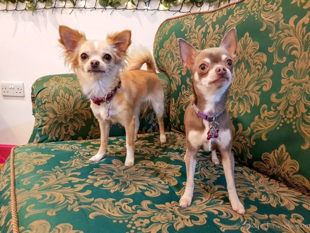 Gatsby and Elsa at the Chihuahua Cafe