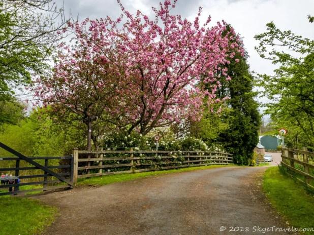 Cherry Tress on the West Highland Way