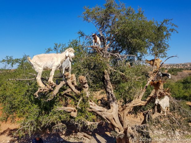 Argon Tree with Goats