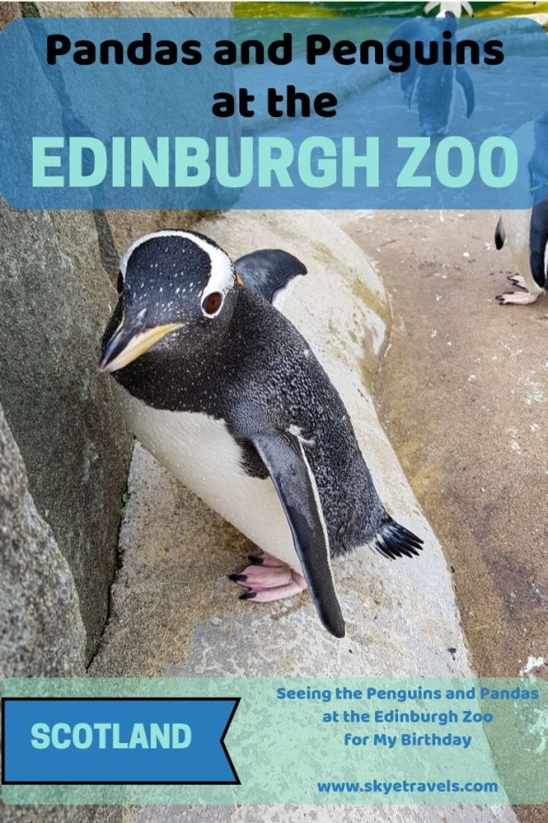 Pandas at the Edinburgh Zoo Pin