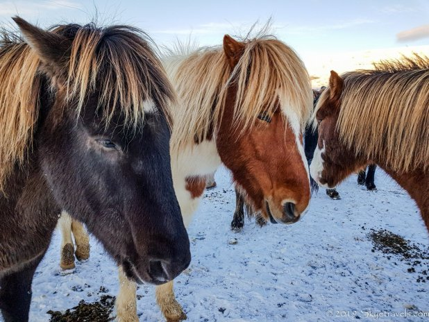 Icelandic Horses at Laxnes Farm