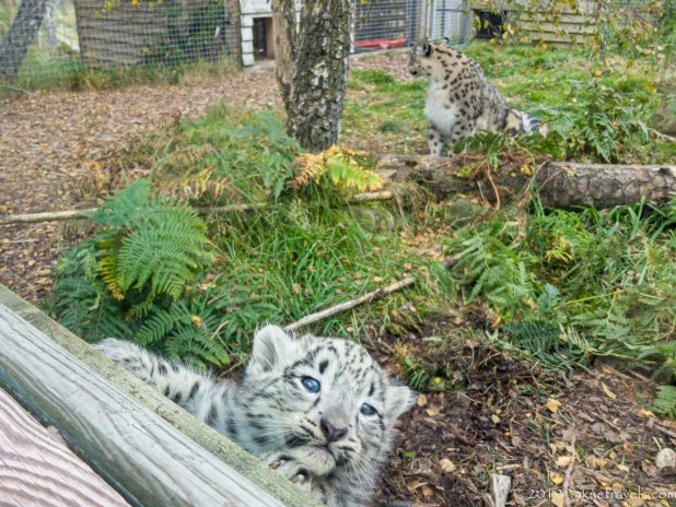 Snow Leopard Cub at the Highland Wildlife Park