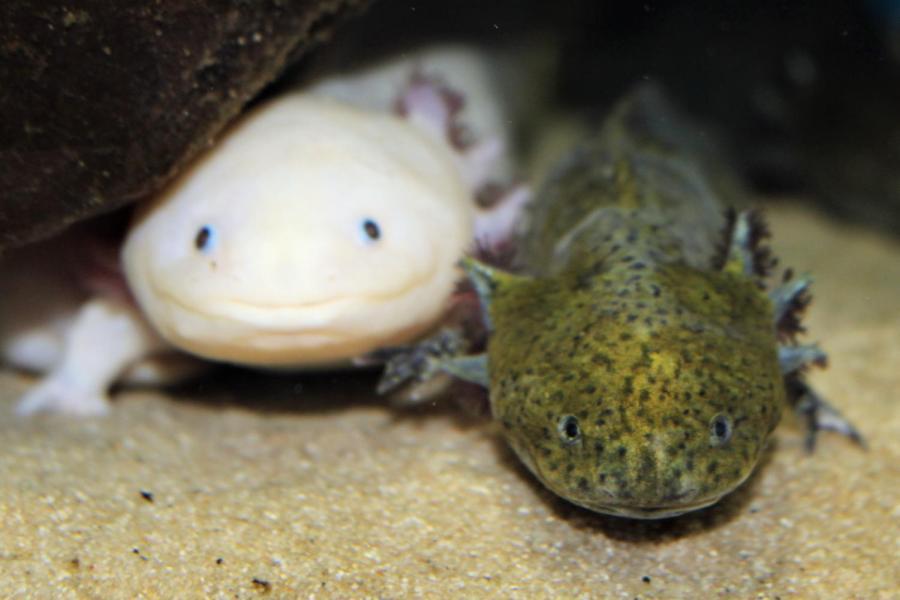 Critically Endangered – Axolotls