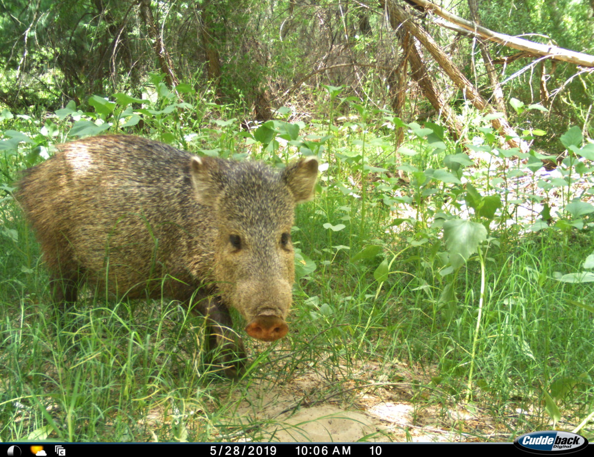 Friday Creature Feature Javelina