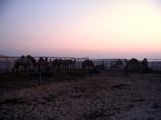 Farma wielbladow Emira