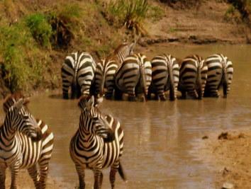Zebry w parku Masai Mara w Kenii