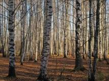 Sea shore grove of birch tree