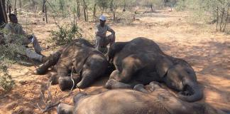 Over 100 elephants die in Botswana due to drought, anthrax outbreak