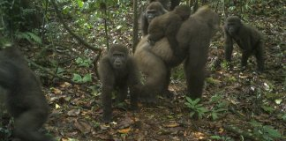 sky news africa Rare gorillas in Nigeria captured on camera with babies