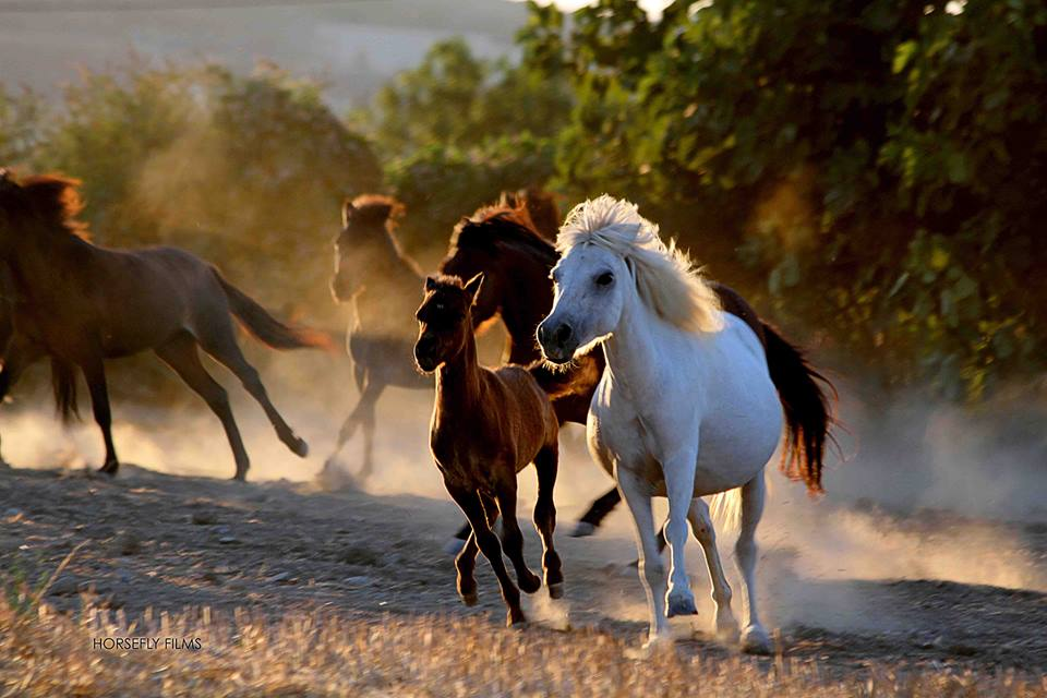 Skyros Island Horse Trust Saving The Skyrian Horse In Its Homeland