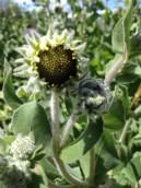 downy sunflower bud