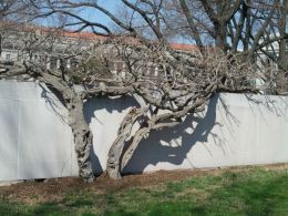 Vining tree on wall beside the National Mall (Museum of Natural History side)
