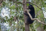 Sun Bears in rehabilitation